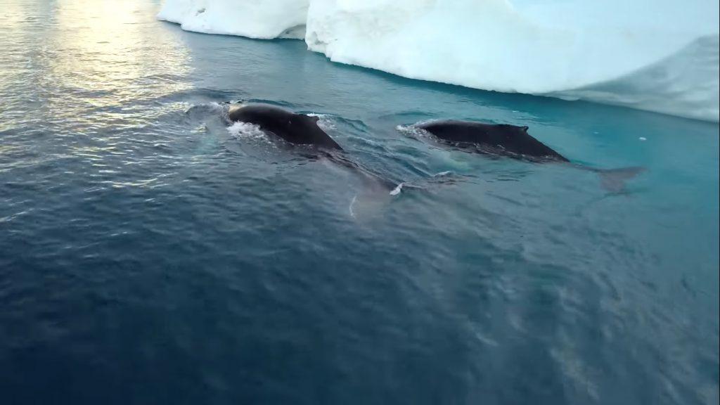 animales árticos afectados por el deshielo