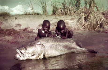 La perca del Nilo gigante la pesadilla de darwin