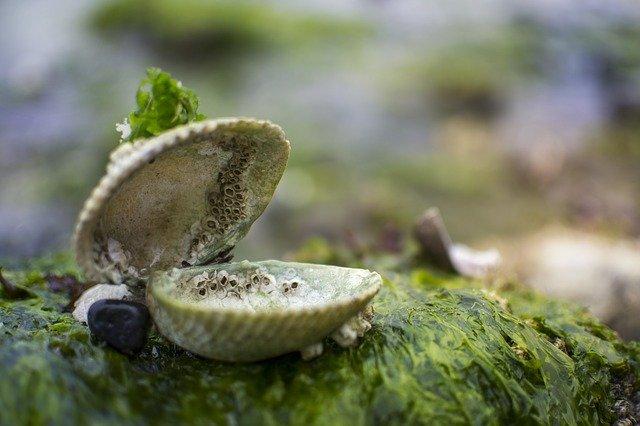 Algas y crustaceo bivalvo